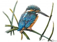 lucy-cortese---kingfisher